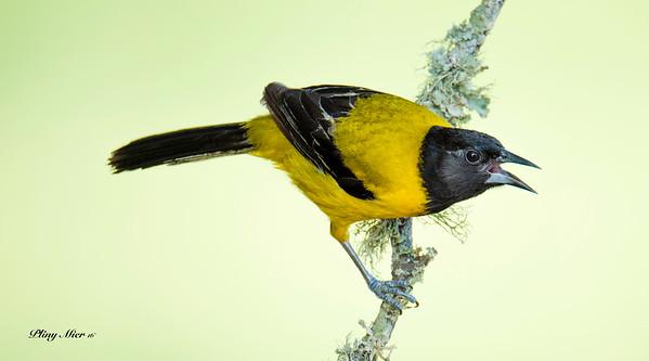 Audubons's Oriole_DWL6720.jpg
