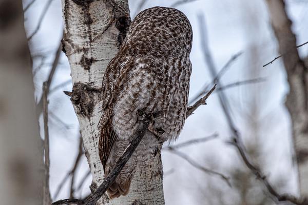 4-2-20 Great Gray Owl