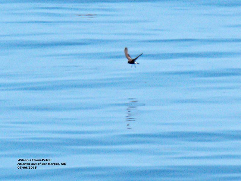 a706 907 20150725_89 3T Wilson's Storm-Petrel Atlantic out of Bar Harbor 0706 1109.jpg