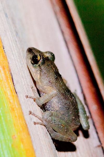 Bermuda Tree Frog