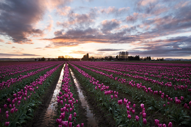 tulips sunset hort.jpg