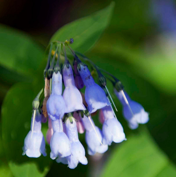 Tall Chiming Bells - one of my perennial favorites and I love getting in the stream to get their pictures.