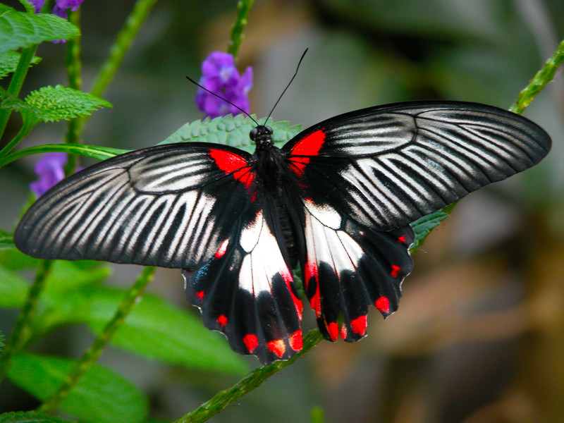 Red And Black Butterfly (1).jpg