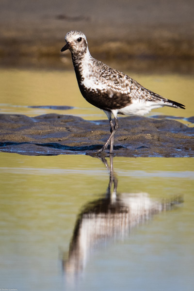 Plover 3 - Black-Bellied