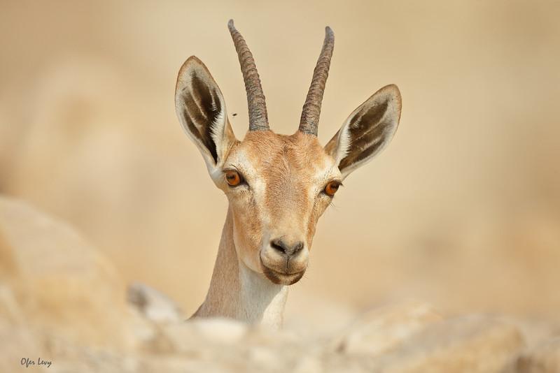 Nubian Ibex MASTER.jpg