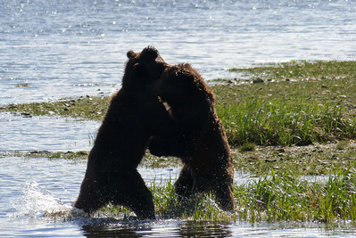 Two Young Bears Wrestling May 2016, Cynthia Meyer, Tenakee Springs, Alaska P1190039