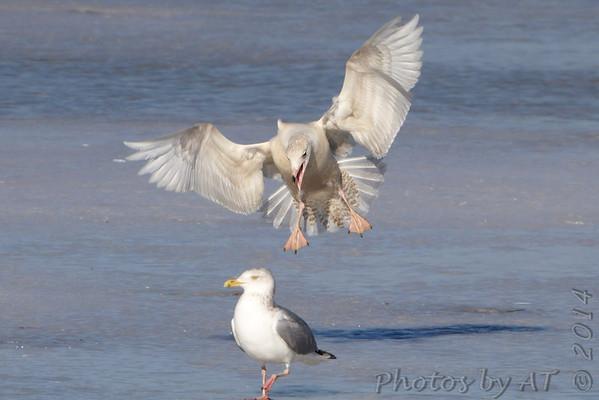 2014-01-29 Riverlands Migratory Bird Sanctuary