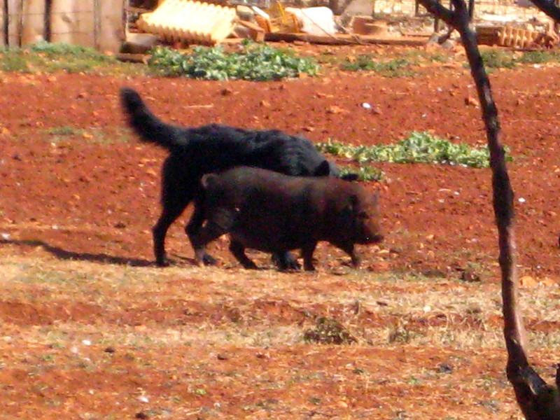 2011 0909 big-dog-pals Hvar Greek fields.jpg
