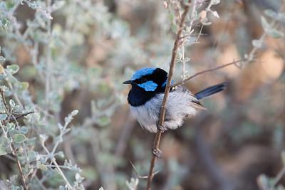 Fairy-wrens- MALURIDAE