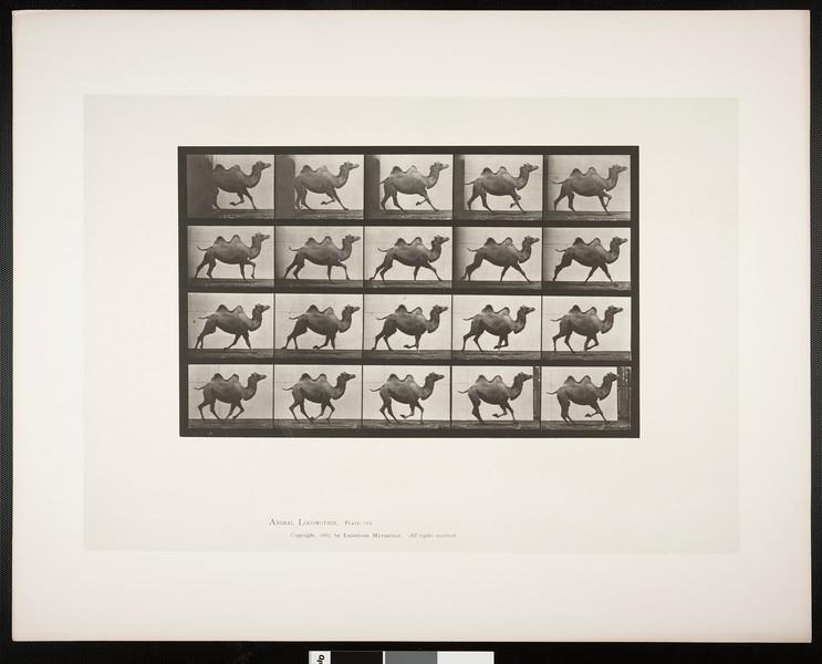 Bactrian camel galloping
