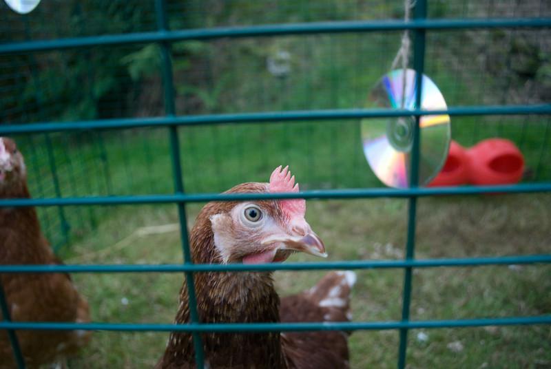 Chickens-15