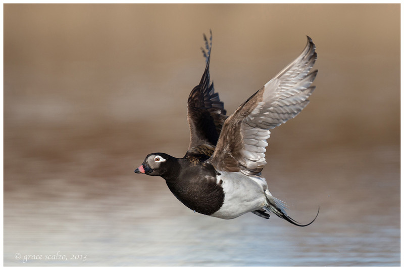 Long-tailed Duck, Nome, Alaska