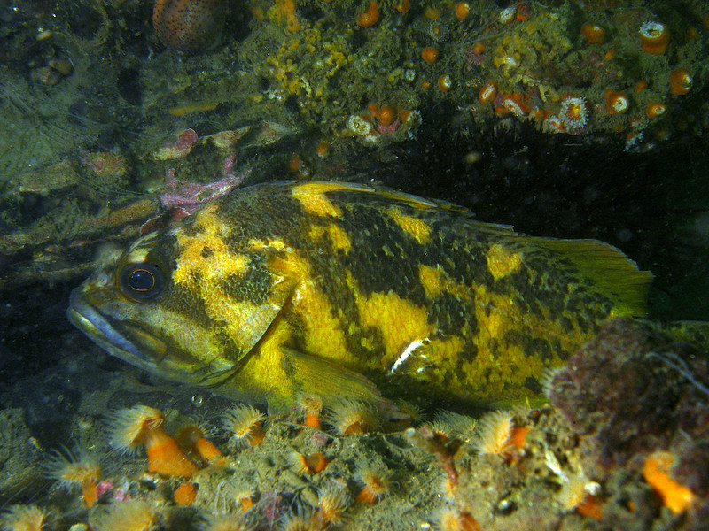 Black and Yellow Rockfish poses for his picture