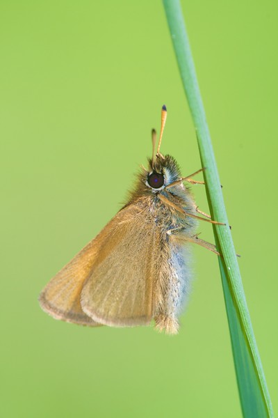 European Skipper (Thymelicus lineola) [June; Skogstjarna, Carlton County, Minnesota]