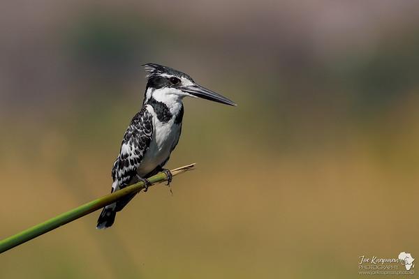 Female Pied Kingfisher