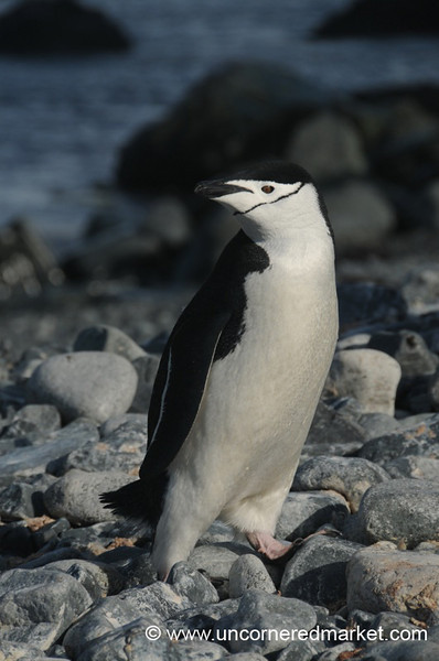 Chinstrap Penguin Out from Water - Antarctica