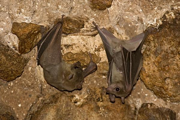 Egyptian Fruit Bat - עטלפי פירות