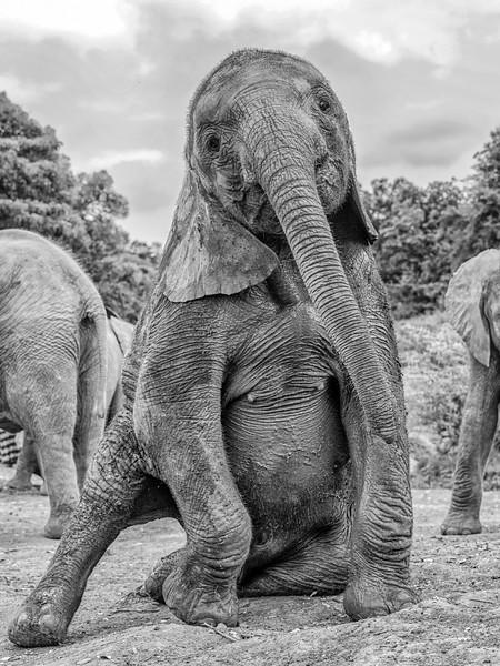 Aug312013d_nairobi_blixwen_elephant_2349.jpg