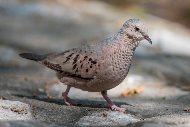 Ground-dove - Common - Labadee, Haiti