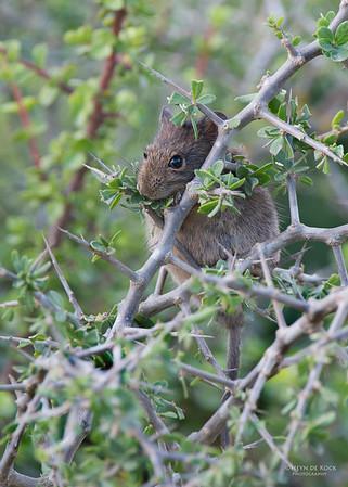 Karoo Bush Rat (Otomys unisulcatus)