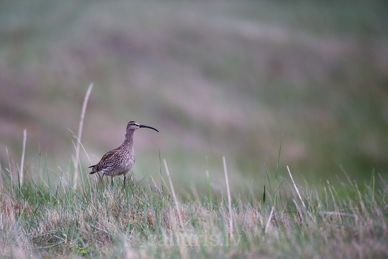 Whimbrel on the ground