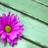 desat daisy