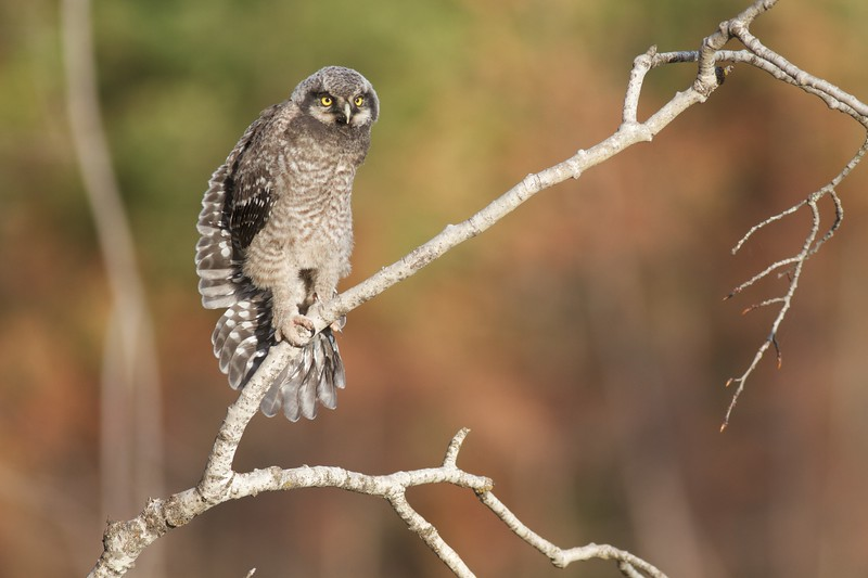 Northern Hawk Owl baby juvenile Owl Ave Sax-Zim Bog MN Northern Hawk Owl baby juvenile Owl Avenue Sax-Zim Bog MN IMG_1161.jpg