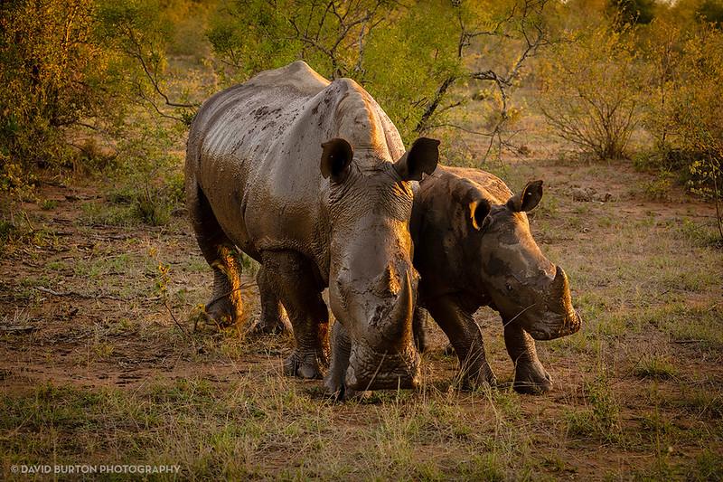 Rhino_Mom_n_Baby_Timbavati_3836-3-web.jpg