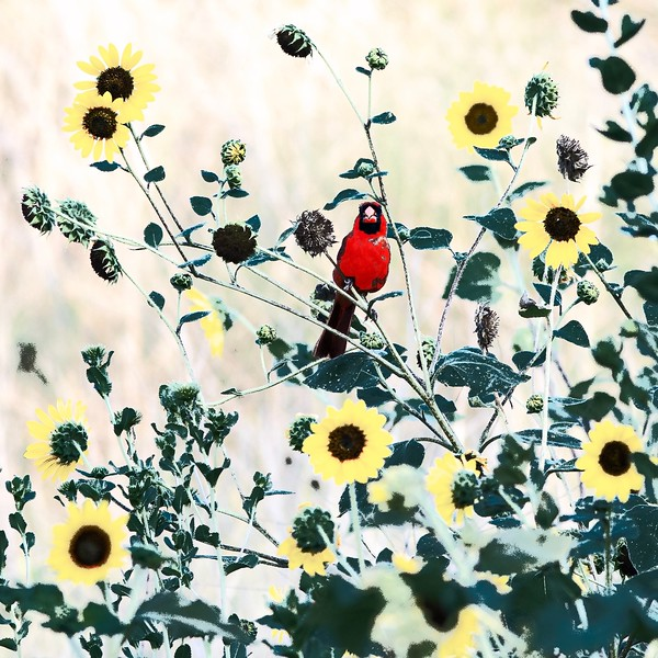 Cardinal-00693.jpg