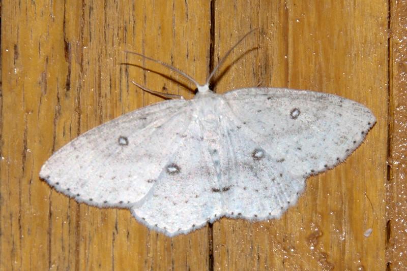 Geometer - Sweetfern - (Cyclophora pendulinaria) - Dunning Lake - Itasca County, MN