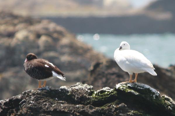 Caranca, Kelp Goose