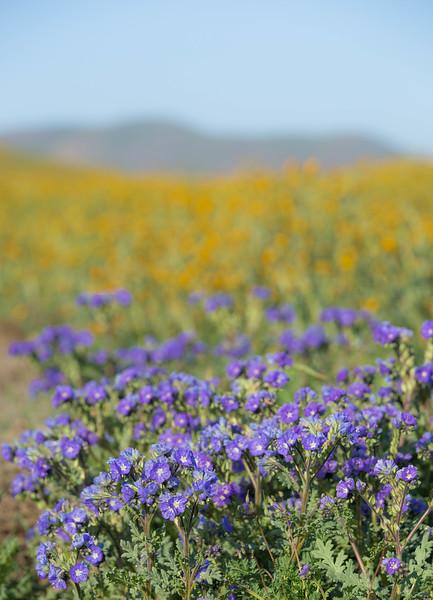 purple to yellow fleurs.jpg