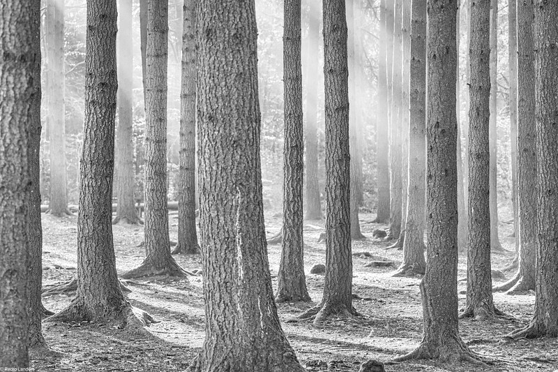 Sun Through Conifers