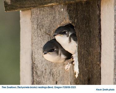 TreeSwallowN3323.jpg