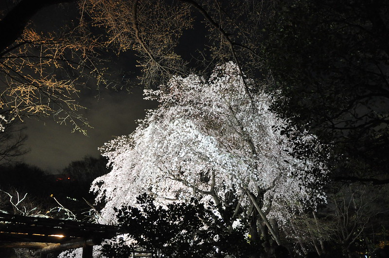 Rikugien nighttime cherry blossom illuminations.