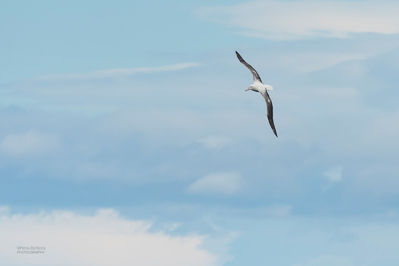 Southern Royal Albatross, Eaglehawk Neck Pelagic, TAS, Dec 2019-4.jpg