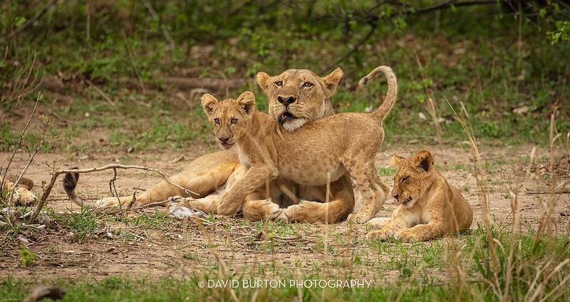 Bili_Lion-n-cubs_9134cc2fx-web.jpg