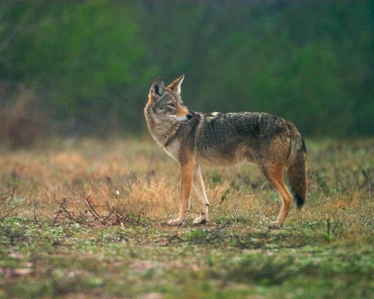 Coyote Sick Dog Ranch TX  813_1351 copy.jpg