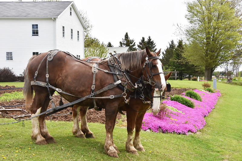 07 Amish horses-Markesan Wi -Roper .jpg