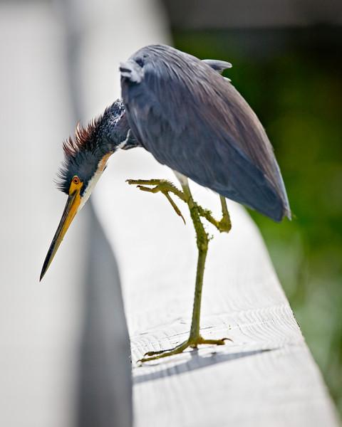 egret scratching   _MG_3669.jpg
