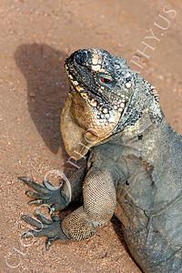Rock Iguana Wildlife Photography