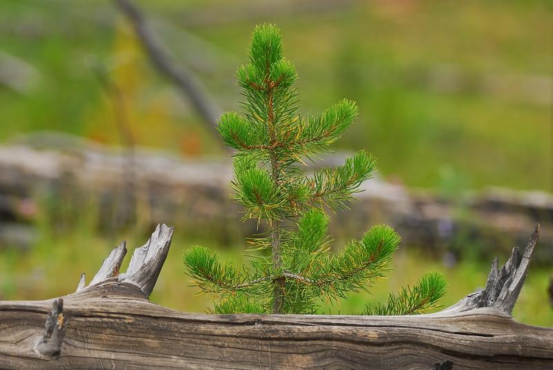 Trees, Yellowstone National Park
