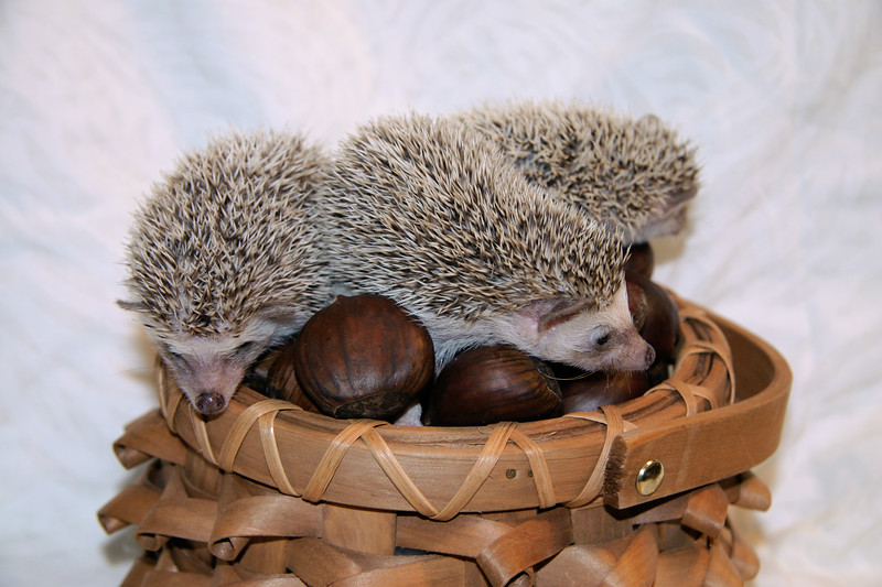 Hedgehog Chestnuts (01/04/2007)  Hedgehog Chestnuts (01/04/2007) - Photoshoot for Mighty Giants - An American Chestnut Anthology  Filename reference: 20070104-220018-HAH-Hedgehog_Chestnuts