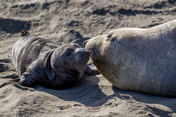 California Elephant Seal Rookery