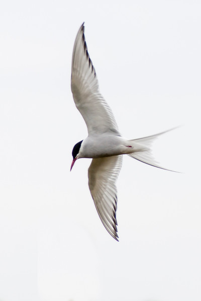 Arctic Tern - Vik, Iceland