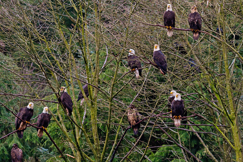 Multiple hungry bald eagles sitting in a tree along the Great Bear Rainforest coastline near the Broughton Archipelago, First Nations Territory, British Columbia, Canada.