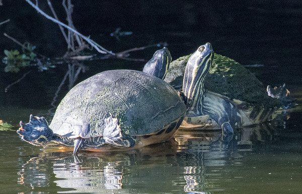 Two male turtles showing off