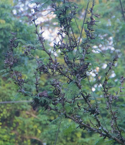 Inca Dove nesting in very thorny Acacia tree