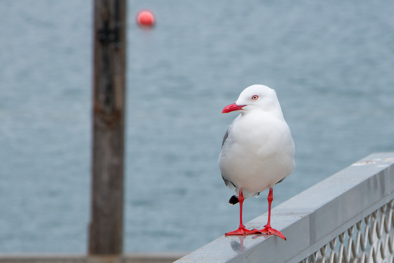 Red-Billed Gull & buoy 5734