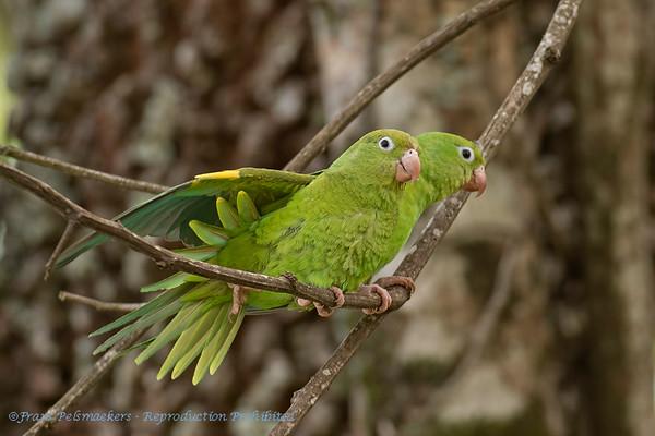 Chiririparkiet; Brotogeris chiriri; Yellowchevroned parakeet; Toui à ailes jaunes; Kanarienflügelsittich